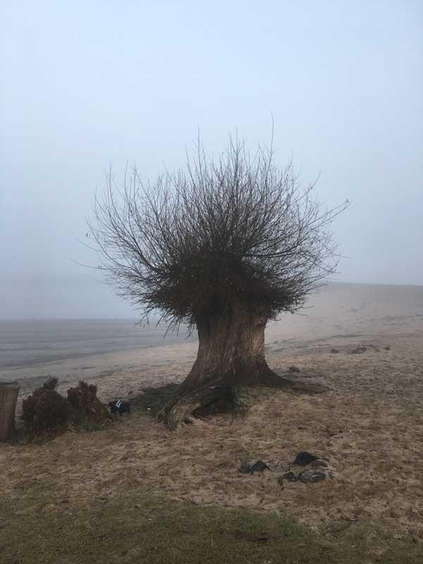 Eine alte knorrige Weide am Strand von Nimwegen