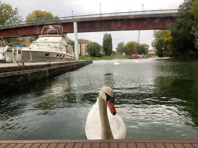 Neugieriger Schwan im Hafen von Chalon-sur-Saône