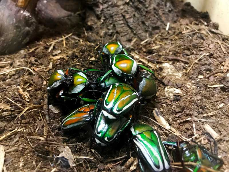 Das Insektarium in der Zitadell von Besançon ist sehr interessant, hier Käfer