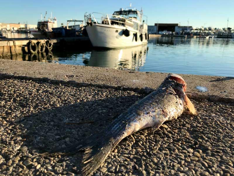 Im Fischereihafen von Le Grau-du-Roi liegen viele tote Fische herum