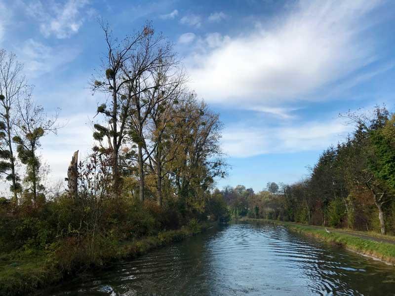 Misteln in den Bäumen am Canal du Rhône au Rhin bei Fesches-le-Chatel