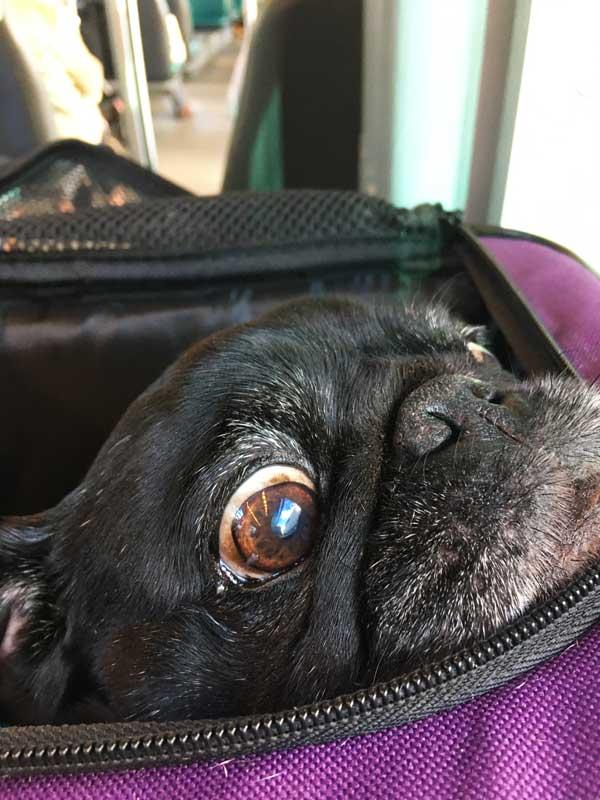 Hunde müssen im öffentlichen Nahverkehr von Rotterdam in Taschen transportiert werden