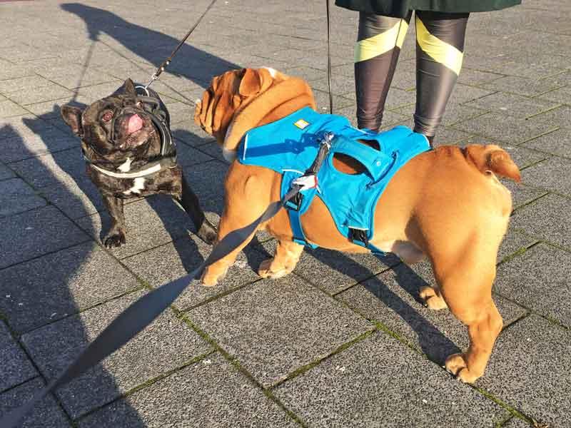 Kobus, eine französische Bulldogge, begegnet uns oft bei unseren Gassirunden