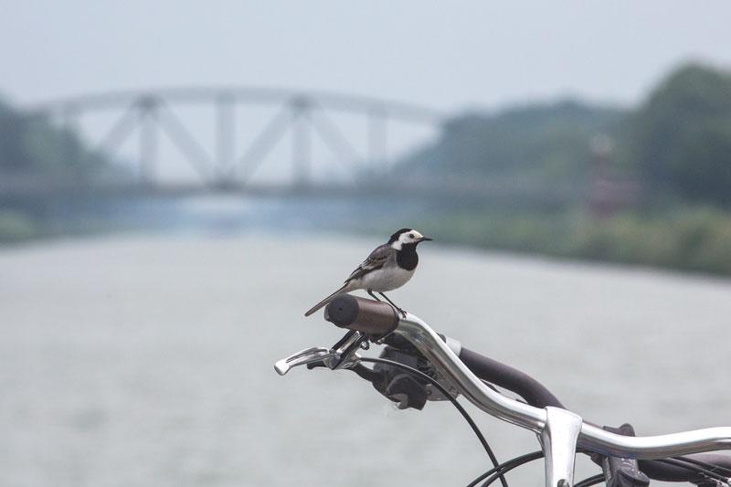 Eine Bachstelze sitzt auf dem Lenker meines Fahrrads, das vorne am Bug an der Reling festgekettet ist