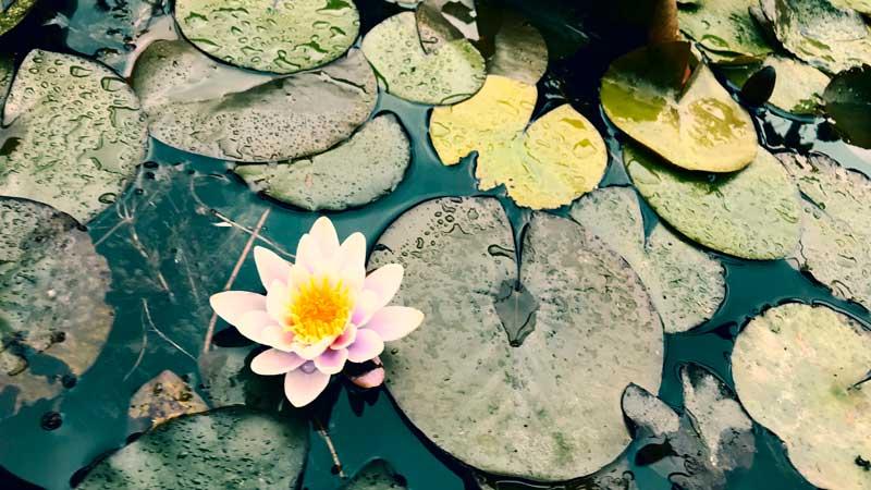 Blühende Seerose im Yachthafen MYC Minden