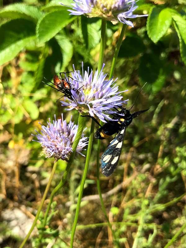 Auf einer lilafarbenen Blüte sitzen ein Falter sowie zwei sich paarende Käfer