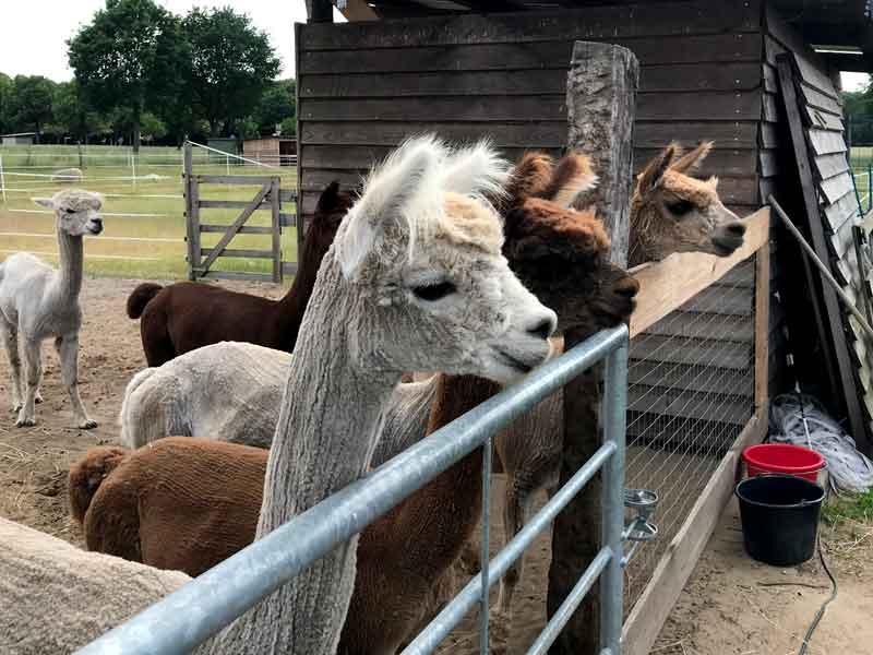 Frisch geschorene Lamas gucken über ein Gatter