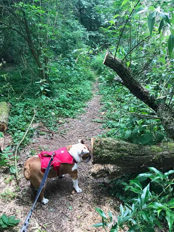 Bulldogge Lisbeth gefällt es gut in dem urwaldähnlichen Waldstück am Auesee