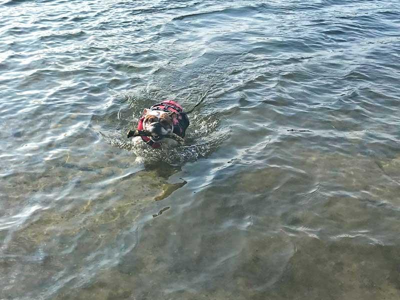 Bulldog Lisbeth schwimmt mit ihrer roten Schwimmweste im Allersee und bringt einen Ast zurück ans Ufer