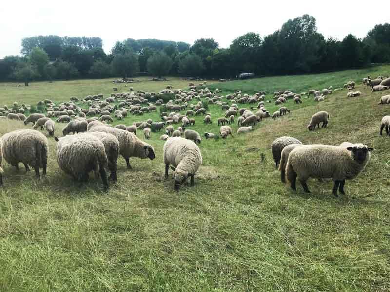 In der Nähe unserer Hafens WTG Wesel grast eine riesige Schafherde auf der Wiese