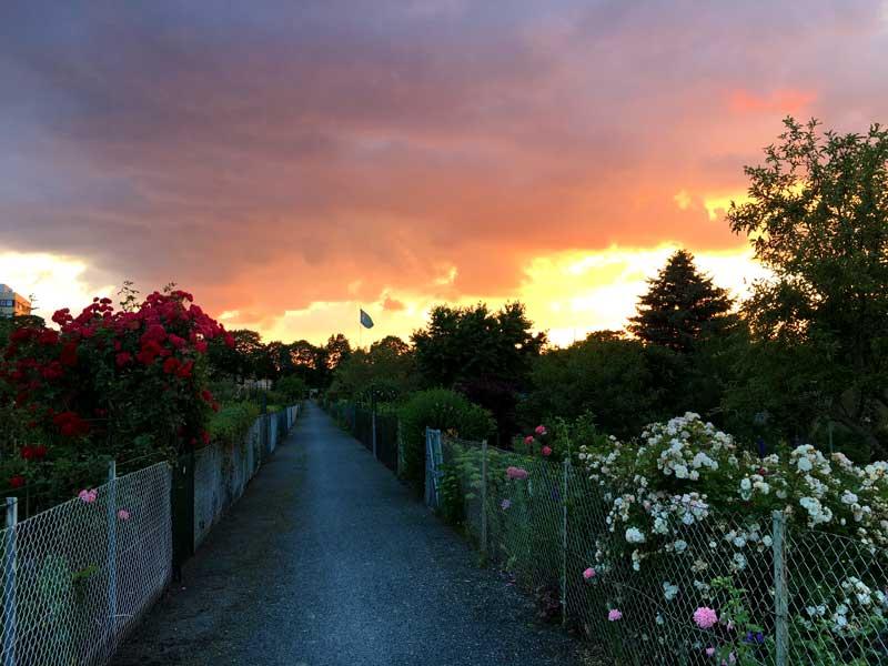 Durch die sehr gepflegte Kleingartenanlage unweit des Yachthafens Hannover führt ein Weg, den ich gerne für die Abendrunde mit dem Rollstuhl-Mops benutze