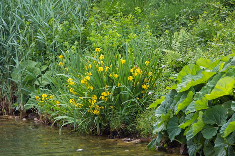 Gelbe Sumpfschwertlilien neben Huflattich und Schilf am Ufer des Mittellandkanals