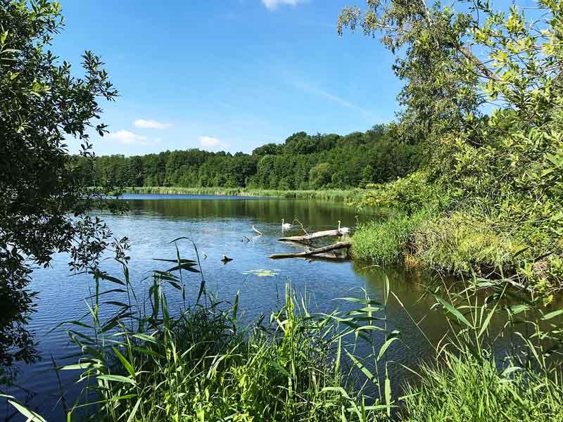 Blick durch Schilf auf den Glindower See bei Werder Havel