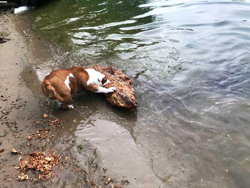 Die englische Bulldogge zerkaut am Babelsberger Ufer des Tiefen Sees Potsdam ein riesiges Holzstück