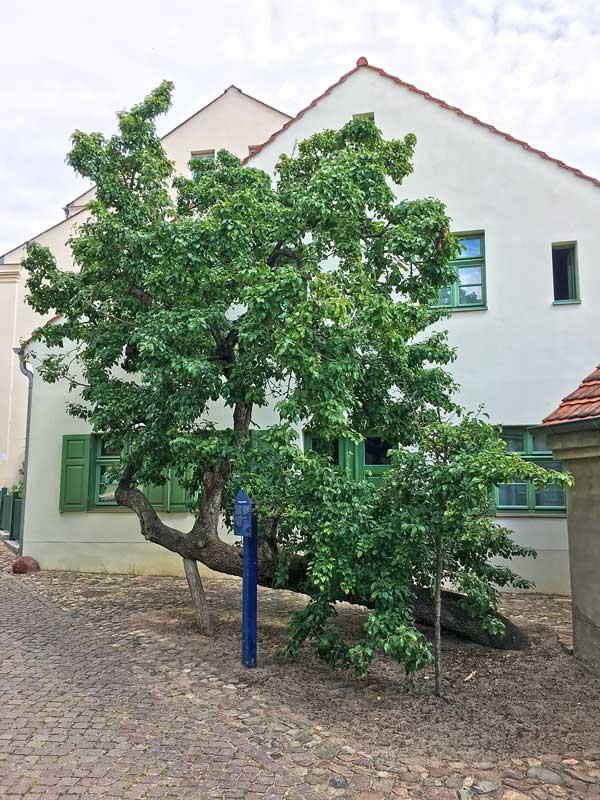 Ein uralter knorriger Birnbaum der Sorte Rote Bergamotte, der schon fast waagrecht über dem Boden wächst und gestützt werden muss, in Werder Havel