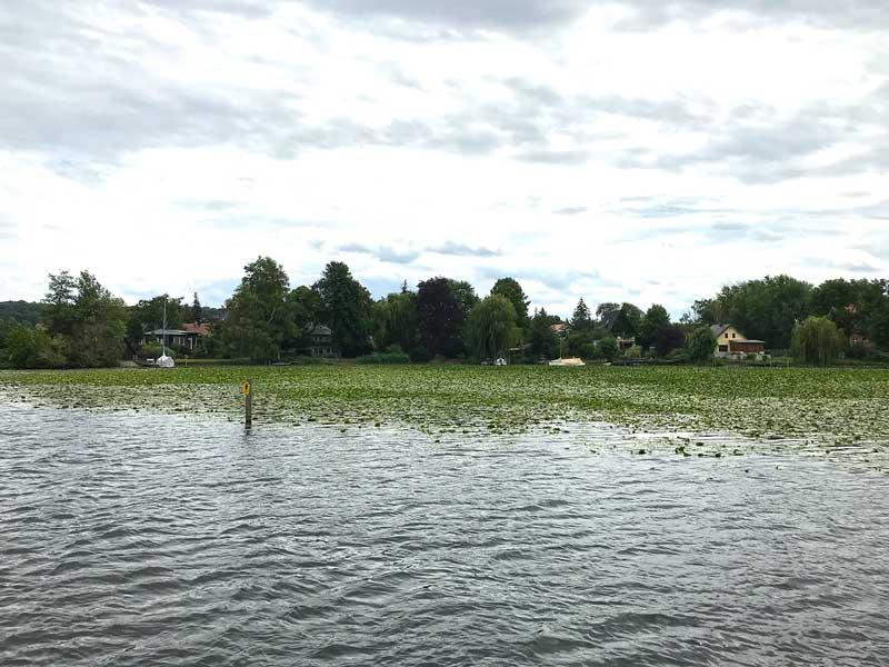 Eine riesige Fläche mit Seerosenblättern auf dem Wasser der Havel nahe Potsdam, Templiner Vorstadt