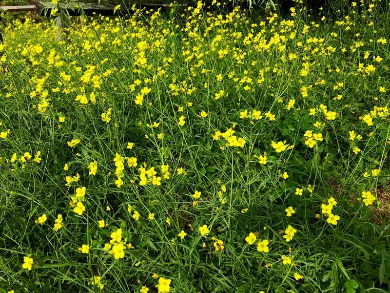 Ein Feld von gelb blühenden Rucola Pflanzen in Potsdam an der Havel
