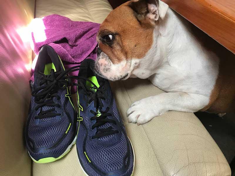 Die Englische Bulldogge schnuppert an Turnschuhen