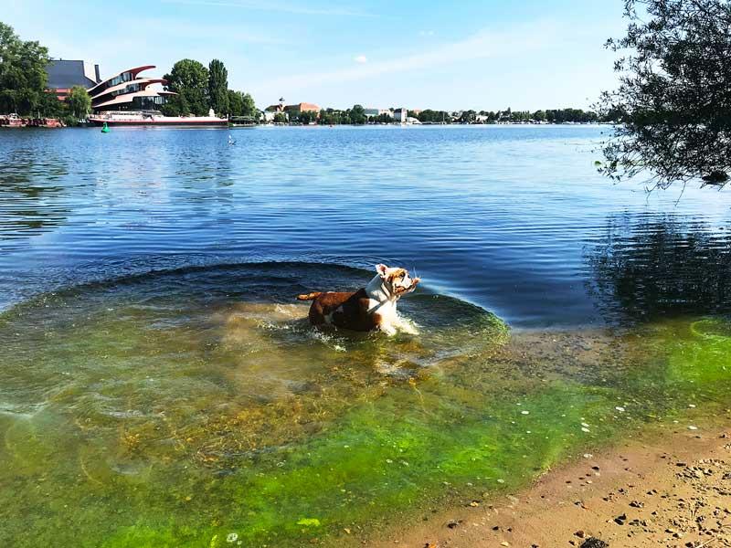 Die Englische Bulldogge spielt mit einem Stock im Wasser am Ufer des Tiefer See bei Potsdam