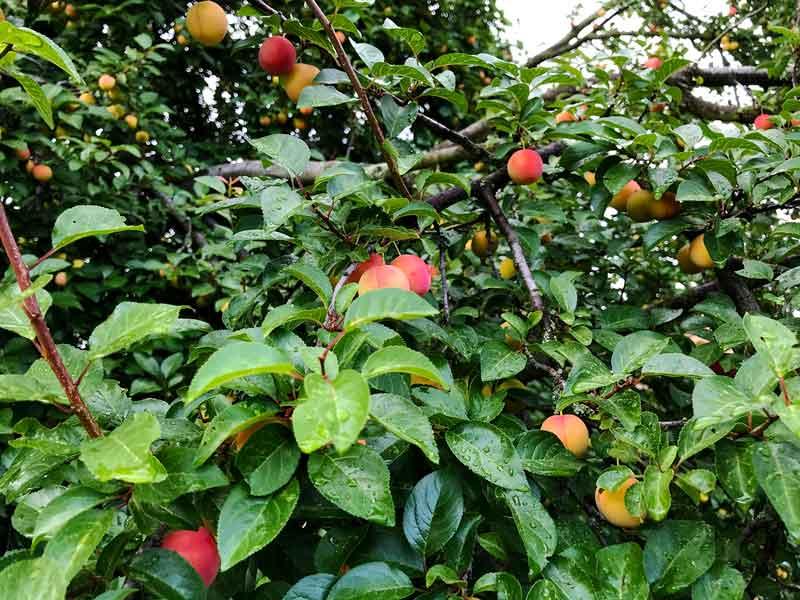 Zweige eines Aprikosenbaumes mit reifen rot gelben Aprikosen