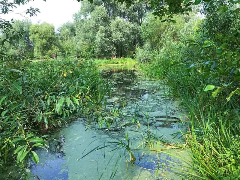 Schilfbewachsener Sumpfgraben in den Tiefwerder Wiesen an der Havel in Berlin Pichelsdorf