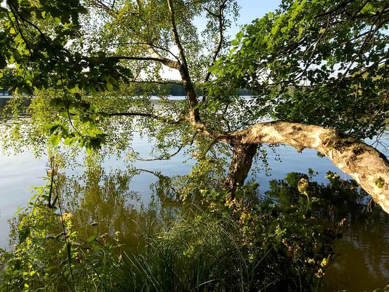 Eine umgestürzte Birke findet halt auf dem Grund des flachen Schmöldesees in den Teupitzer Gewässern, Brandenburg, südlich von Berlin