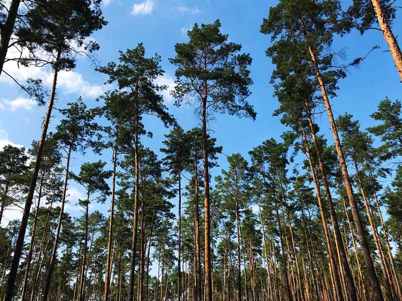 Blick durch die Baumwipfel eines Kiefernwaldes bei blauem Himmel und Sonnenschein am Ufer des Schmöldesees in den Teupitzer Gewässern, Brandeburg, südlich von Berlin