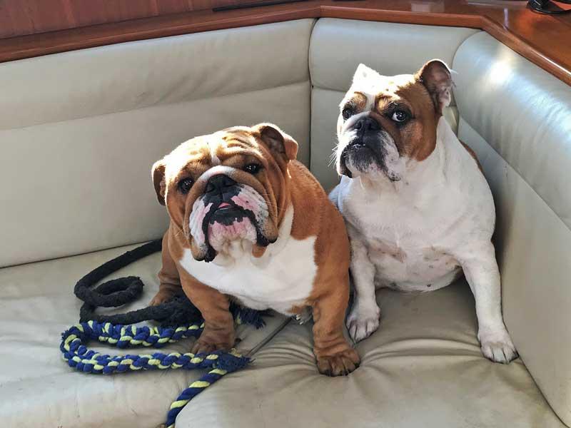 Zwei englische Bulldoggen sitzen auf der Bank und sehen nach oben zum Fotografen