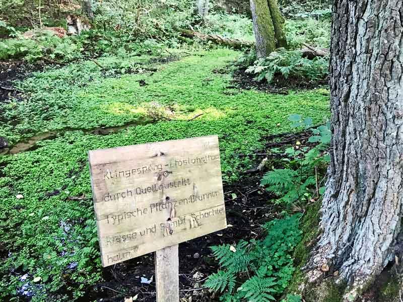 Mit Brunnenkresse bewachsener Quellbereich Klingespring im Wald am Tornower See bei Tornow und Teupitz in Brandenburg, südlich von Berlin