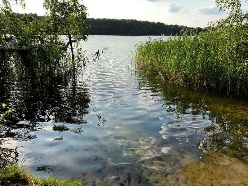 Blick über das Schilf und ins Wasser hängende Birken am Ufer des Tornower Sees bei Tornow und Teupitz in Brandenburg, südlich von Berlin