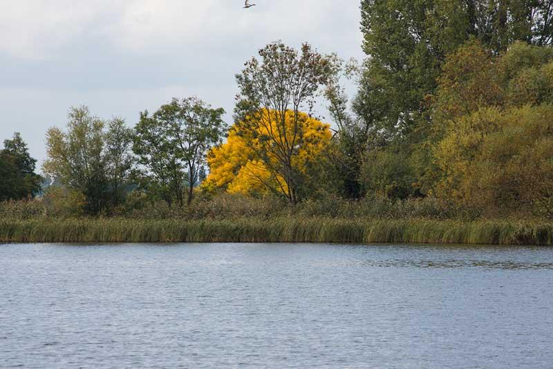 Zwischen den herbstlich gefärbten Bäumen am Ufer der Havel in Brandeburg sticht ein besonders grell gelb leuchtender Baum heraus